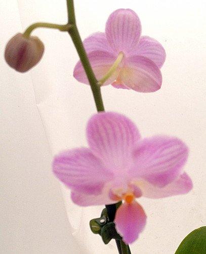 'Crystal Cupid' Miniature Phalaenopsis Moth Orchid Plant - 2