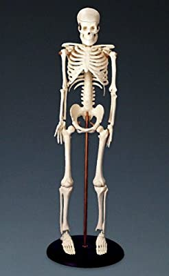 "My First Skeleton (Tiny Tim) 16 1/2"" Plastic Model from Anatomical Worldwide"