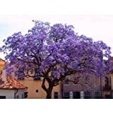 25+ Purple Empress Tree Seeds / Perennial / Paulownia Tementosa / World's Fastest Growing Tree