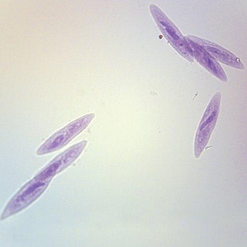 Paramecium, W.M. Microscope Slide