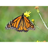 Monarch Habitat Seed Mix For Southern States, 500 Certified Pure Live Seed