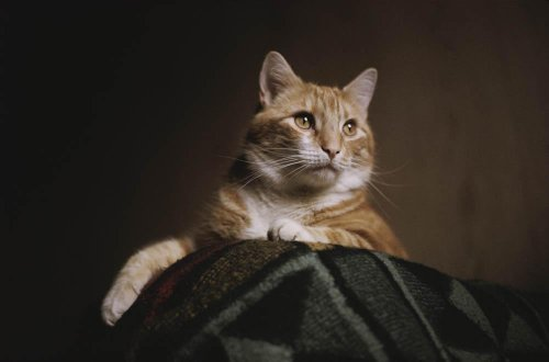 A Large Orange Cat Guards The Corner Of A Bed In This Low-Angle View Wall Mural - 24 Inches W X 16 Inches H - Peel And Stick Removable Graphic front-796919