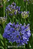 "Agapanthus ""Midknight Blue"" One Gallon by Monrovia Growers"