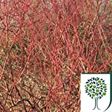Common Dogwood (Cornus sanguinea) 60/80cm Bare Root 2yr (1+1) pack of 25