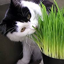 buy Seeds And Things Approximately 1,000 Organic Catgrass Seeds (Red Winter Wheat) Your Cats Will Love It. Easy To Grow Anytime-Anywhere.
