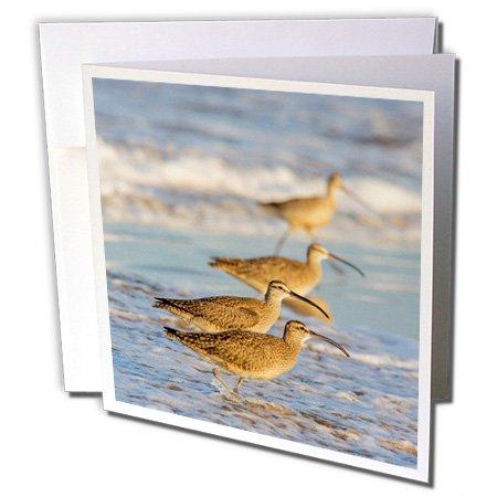 Danita Delimont - Birds - Whimbrel shorebirds foraging Pismo Beach, California, USA - 6 Greeting Cards with envelopes (gc_229956_1)