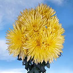 50 Fresh Cut Yellow Fuji Spider Mums | Fresh Flowers Express Delivery | Perfect for Birthdays, Anniversary or any occasion.