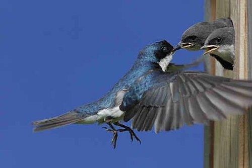 Tree Swallow Feeding Babies - 48