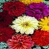 South Eastern Horticultural Pack Kings Dahlia Unwins Dwarf Mixed Flower Seeds