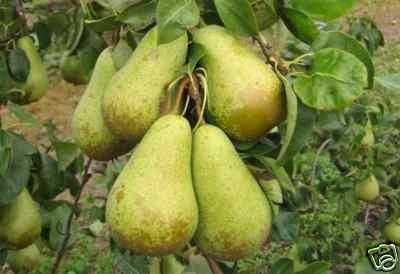 Conference Pear Tree 4-5 Ft, Self-fertile & Heavy Cropper, Ready To Fruit