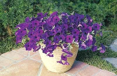 Blue Wave Petunia