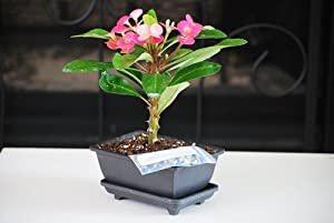 9GreenBox - Red Crown of Thorns Bonsai with Water Tray and Fertilizer