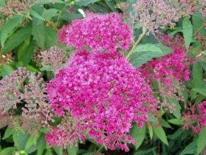 sommerspiere spiraea 39 anthony waterer 39 sch ner bl tenstrauch von native plants. Black Bedroom Furniture Sets. Home Design Ideas