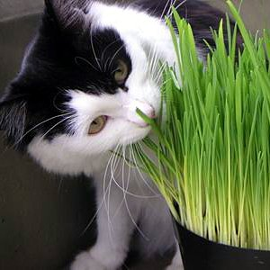 Catgrass (Sweet Oats for Cats) 1,000 Seeds Bulk