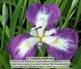 Japanese Iris Picotee Wonder - 1 plant - 3/4 fan plant