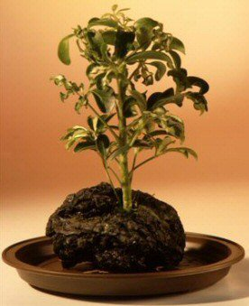 Buy Hawaiian Umbrella Bonsai Tree – Gold – In Lava Rock – Small.(arboricola schefflera 'luseanne' variegata)