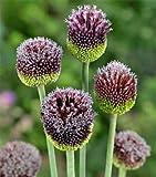 Allium – Forelock