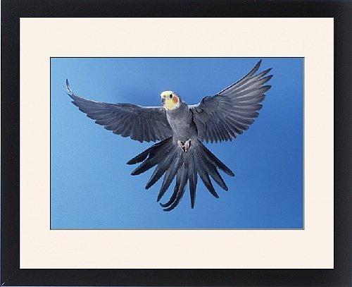 Framed Print Of Cockatiel - In Flight