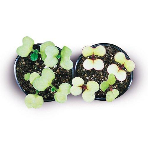 brassica rapa wisconsin fast plants