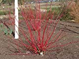 Hot Plant Co 3 X Cornus Alba Spaethii Red-Barked Dogwood Sent In 9cm Pots