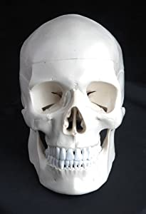 Medical Anatomical Human Skull Model High Quality, Classic, 3-part, Life Size from Wellden
