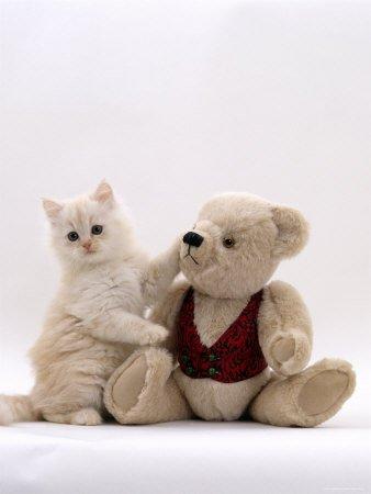 Domestic Cat, Cream Fluffy Kitten  Teddy Bear