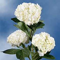 20 Fresh Cut White Hydrangeas | Fresh Flowers Express Delivery | Perfect for Birthdays, Anniversary or any occasion.