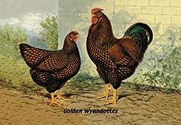 Golden Wyandottes 24x36 Giclee