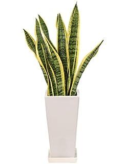 サンセベリアは部屋をおしゃれに演出してくれる観葉植物