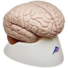 3B Scientific C17 8 Part Brain Model, 5.5&#034; x 5.5&#034; x 6.9&#034;