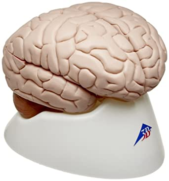 "3B Scientific 8 Part Brain Model, 5.5"" x 5.5"" x 6.9"""