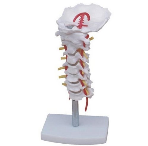 nski Echthaar 1: 1Größe Halswirbelsäulse mit Halsschlagader, gemeinsame Simulation Modell Medical Anatomie Typ: dr-xf-122