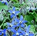 Herb Seeds - Borage - 50 Seeds