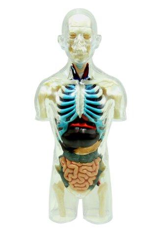 スカイネット 立体パズル 4D VISION 人体解剖 No.14 胴体解剖スケルトンモデル