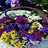 South Eastern Horticultural Pack Kings Seed Statice Art Shades Mixed Flower Seeds