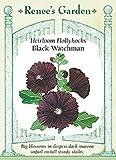 Hollyhock, Black Watchman