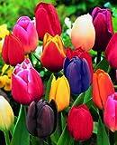 Prächtige Tulpen Mischung 100 Blumenzwiebeln Gr.11/12