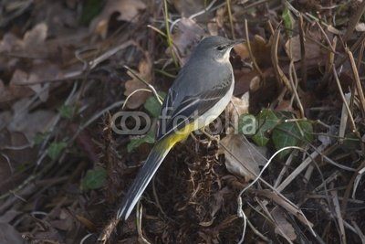 "Wallmonkeys Peel and Stick Wall Decals - Grey Wagtail - 24""W x 16""H Removable Graphic"