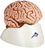 "3B Scientific C18 5 Part Classic Brain Model, 5.1"" x 5.5"" x 6.9"""