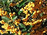 Pyracantha Plant - Variety 'Saphire' - Commonly known as Firethorn Plant