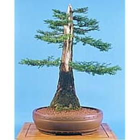 Buy Bonsai Review Of Giant Sequoia 50 Seeds Bonsai Sequoia Giganteum