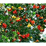 15 Seeds Strawberry Madrone, Strawberry Fruit Tree (Arbutus unedo)