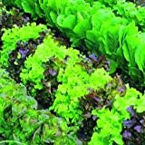 Organic Seed - Vegetable - Suffolk Herbs - Lettuce - Mixed - Pictorial Pack