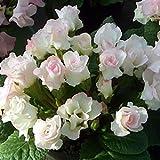 (11月初旬以降お届け予約品) ☆宿根草 バラ咲き プリムラ ジュリアン ブライダルベル 1株