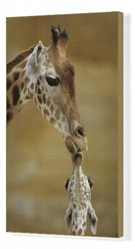 Canvas Print Of Giraffe - Kissing Young Giraffe front-1083580