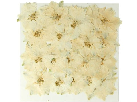 Pressed real dried flowers, White larkspur, 2 packs. Art & craft, card making materials.