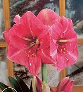 Bestseller ~ Christmas Amaryllis Bulb ~ Individually wrapped ~ Great for gift giving