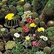 Cactus - Crown Mix - 20 Seeds