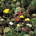 Cactus - Crown Mix - 20 Seeds