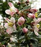 Sycamore Trading ESCALLONIA Apple Blossom x 5 Young Plants